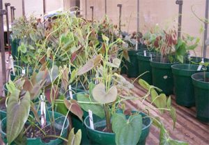 Photo of Yam plant